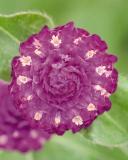 14992416623354_gomphrena-las-vegas-purple.jpg