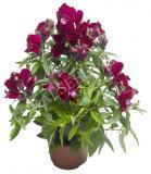 15598899561967_ltd-snaptini-violet.jpg