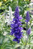 15785524608879_salvia-farinacea-rhea-blue.jpg