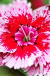 Kỹ thuật trồng cẩm chướng Floral Lace