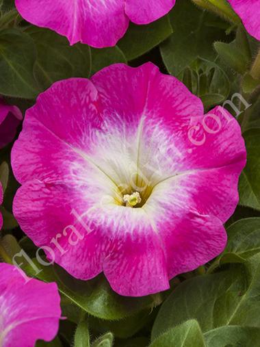 FPET222 Rose Morn