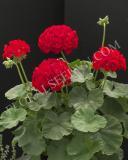 15628335916721_everlast-red.jpg