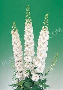 Delphinium - Hoa Phi Yến